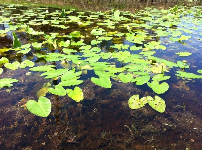 Lily pads on a neighbor's pond