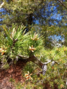 Pines = pollen = still pretty