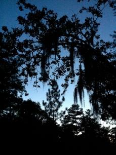 Spanish moss at dusk