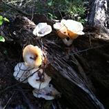 Mushrooms on a log on the floodplain