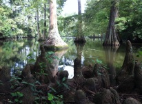 Cypress knees at Swan Lake