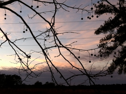 Sunset behind my favorite sycamore