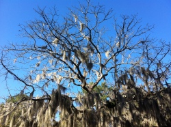 Spanish moss at Lee State Park