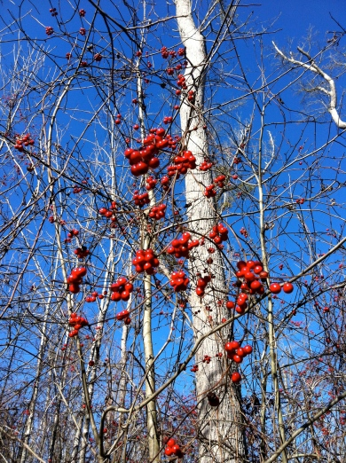red berries on the flood plain at Lee State Park