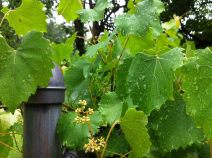 a grapevine at my parents' home after an early summer rain shower